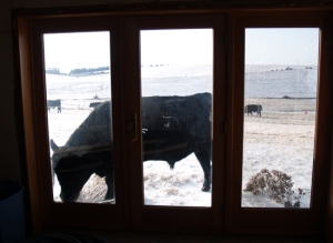 Bull in the window