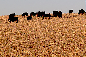 black cows grazing cornstalks in  nebraska field in winter
