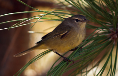 A small grey and yellow bird we think is a female gold finch