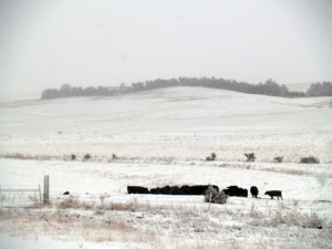 a herd of black cows eating hay in the snow