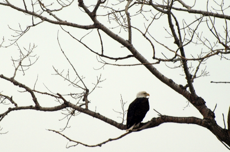 bald eagle sitting in a cottonwood tree prior to the leaves coming out in spring