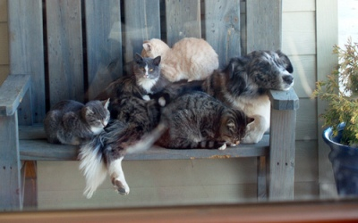 several cats napping on a good natured dog