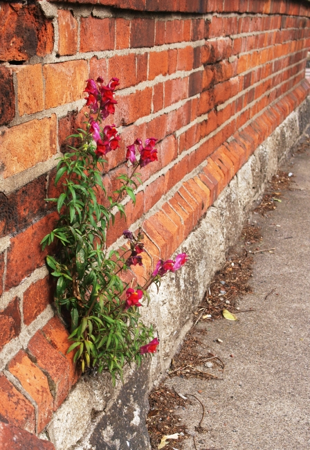 flower growing out of a wall in dublin, ireland