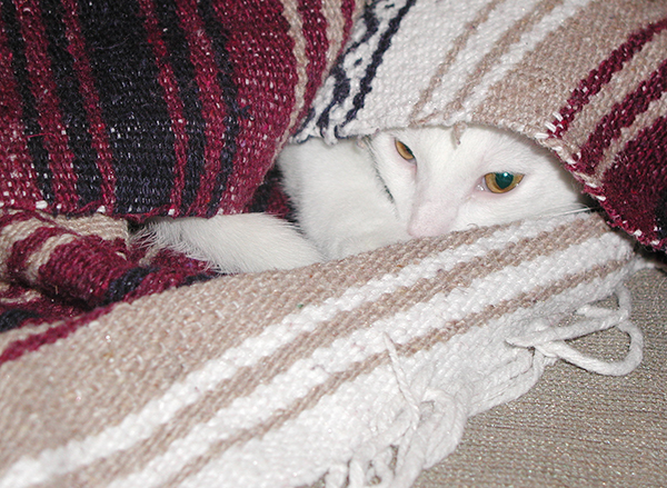 white cat peeking out from underneath a blanket