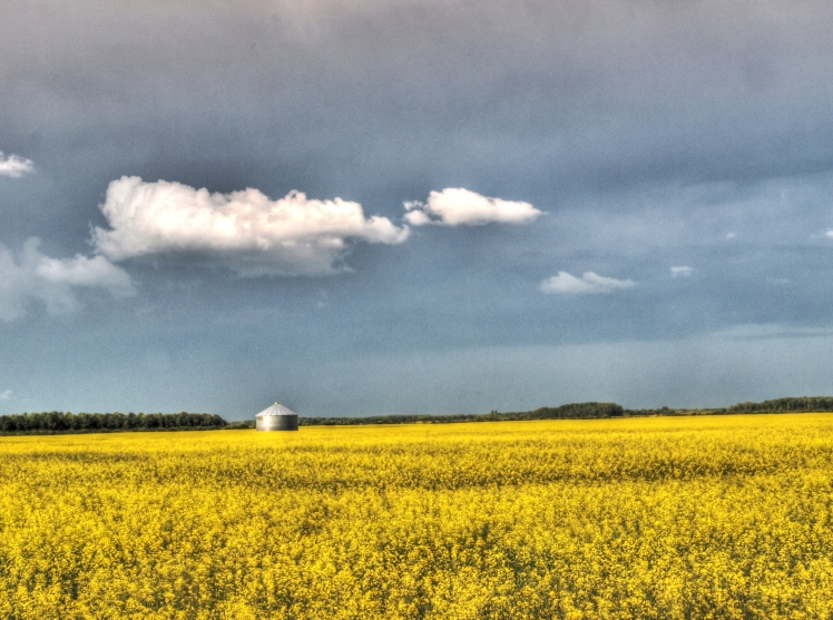 yellow canola field in bloom with blue sky and small grain bin in Manitoba
