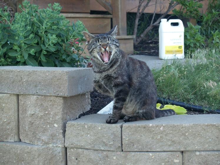 a three legged cat sitting on a retaining wall yawning