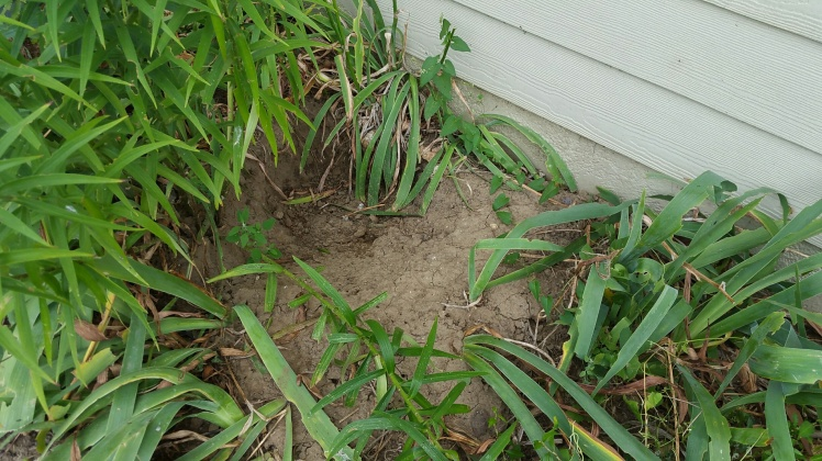 hole dug by the dog in the landscape. She is looking for a cool place on hot days